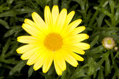 阳光延命菊Argyranthemum frutescens 库存照片