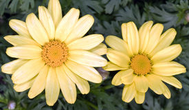 Argyranthemum frutescens 'Butterfly'. Closeup of two sulphur-coloured Marguerite Daisy flowers against a background of deeply serrated dark green leaves Stock Photography