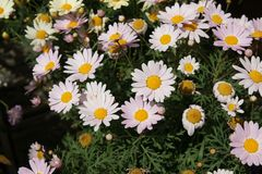 Argyranthemum frutescens 'Madiera Pink'. Garden herb with finely dissected leaves and light pink heads with yellow center on long stalks royalty free stock photo
