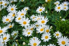 Argyranthemum in a green background. Argyranthemum is a beautiful white flowers with long leaves. The image is taken in the flower exhibition Euroflora in Genoa stock images