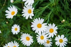 Argyranthemum in a green background. Argyranthemum is a beautiful white flowers with long leaves. The image is taken in the flower exhibition Euroflora in Genoa stock photos