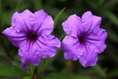 Argyreia nervosa. Purple flowers Argyreia nervosa Royalty Free Stock Photography