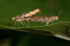 Argyresthia goedartella micro moths mating Stock Image