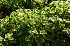 Argyrophylla Potentilla Στοκ φωτογραφίες με δικαίωμα ελεύθερης χρήσης