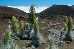 argyroxipium macrocephalum srebra sandwicense ssp miecz Zdjęcie Royalty Free
