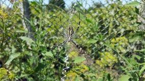 Arhipop Brunnich or Spider wasp. Spider wasp in grass under the sun. Stock Photography