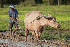Ari con il bufalo di acqua, il giacimento Asia del riso Immagini Stock Libere da Diritti