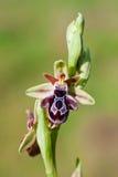 ariadnae ophrys Στοκ Εικόνα