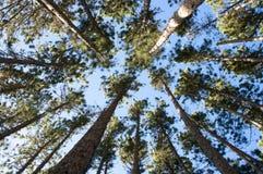 arial杉木高大的树木视图 免版税图库摄影