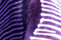 Arial Close Up View Of A Zebra`s Back Royalty Free Stock Photo