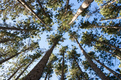 Arial view of tall pine trees. Looking up into tall pine trees Royalty Free Stock Photography