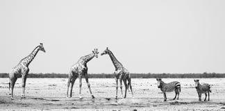 Arican徒步旅行队-斑马和长颈鹿在Waterhole 图库摄影