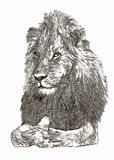 Arican lion portrait digital  sketch Royalty Free Stock Photography