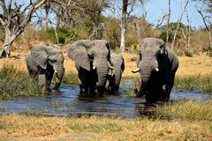 arican słoń Zdjęcia Stock