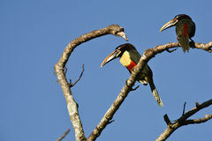 Aricari male and female, perched Stock Images