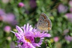 aricia agestis蝴蝶收集在阿斯特拉的芽的花蜜 免版税库存照片