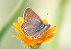 Aricia agestis Stockfoto