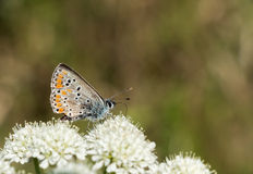 Aricia agestis aka Brown argus butterfly at rest, profile Royalty Free Stock Images