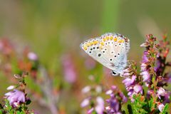 Aricia agestis on beautiful flower Royalty Free Stock Photography