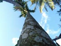 Ariconuten tre med himmel och kokospalmen arkivbild