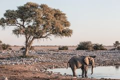 Arid african landscape in the late afternoon with an elephant at royalty free stock image