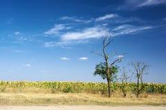 Arid area landscape. Three dry trees near field of droughty sunflowers against blue sky with cloud. Arid area landscape Stock Photos