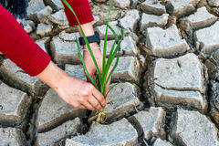 Arid area. Woman hands holding grass growing on cracked earth background with arid area Stock Image