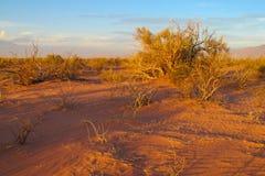 Arid bush in the desert at sunset. Red sand Stock Image