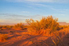 Arid bush in the desert at sunset. Red sand Royalty Free Stock Photos