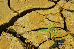 Arid cracked land and Dry cracked land Green shoot, new life,new hope,heal the world Royalty Free Stock Photo