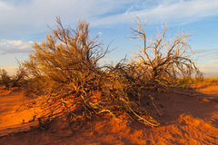 Arid desert bush. Arid desert plain red sand desert with some green bush stock photography
