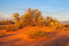 Arid desert bush. Arid desert plain red sand desert with some green bush stock photos