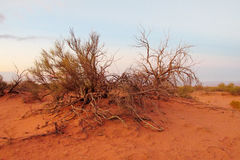 Arid desert bush. Arid desert plain red sand desert with some green bush stock images