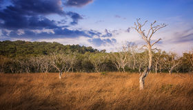 Arid forest with blue sky. In asia Royalty Free Stock Photo