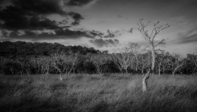 Arid forest monochrome. At asia Royalty Free Stock Photography