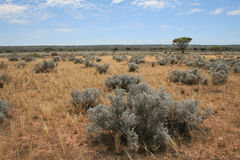 The arid Nullarbor. Image shows a scene on the western end of the arid Nullarbor plain in Australia. Bushes are Bluebush, Maireana sedifolia Stock Photography