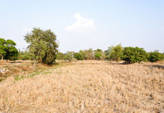 Arid paddy field Stock Photo