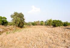 Arid paddy field. After the harvest season Stock Photo