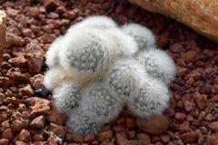 Arid plants - CACTACEAE , Mammillaria plumosa Stock Photos