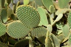 Arid plants - CACTACEAE , Opuntia microdasys Stock Photo