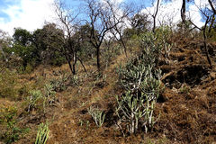Arid Rocky Hill with Cactus. A view of a dry landscape in the high mountains of india with cactuses and burned trees from a wildfire Stock Photography