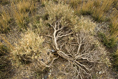 Arid sagebrush detail Royalty Free Stock Image