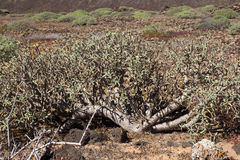 Arid territory of Lobos island, Canary, Spain. Euphorbia balsamifera plant. Tabaiba dulce. Lanzarote. Symbol Royalty Free Stock Photo