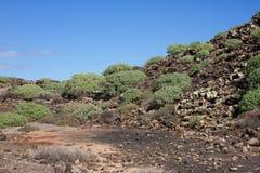 Arid territory of Lobos island, Canary, Spain. Euphorbia balsamifera plant. Tabaiba dulce. Lanzarote. Symbol Royalty Free Stock Images