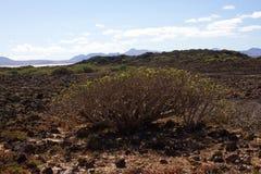 Arid territory of Lobos island, Canary, Spain. Euphorbia balsamifera plant. Tabaiba dulce. Lanzarote. Symbol Stock Photography
