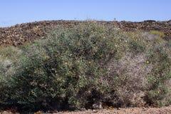 Arid territory of Lobos island, Canary, Spain. Launaea arborescens vegetation Stock Image