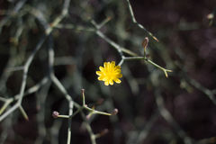 Arid territory of Lobos island, Canary, Spain. Launaea arborescens vegetation Royalty Free Stock Photos