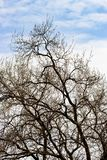 Arid tree branches. Against the backdrop of blue sky, winter season royalty free stock photos