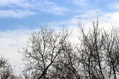 Arid tree branches. Against the backdrop of blue sky, winter season stock photo