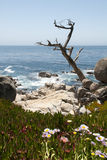 Arid tree looms out to the ocean Royalty Free Stock Images